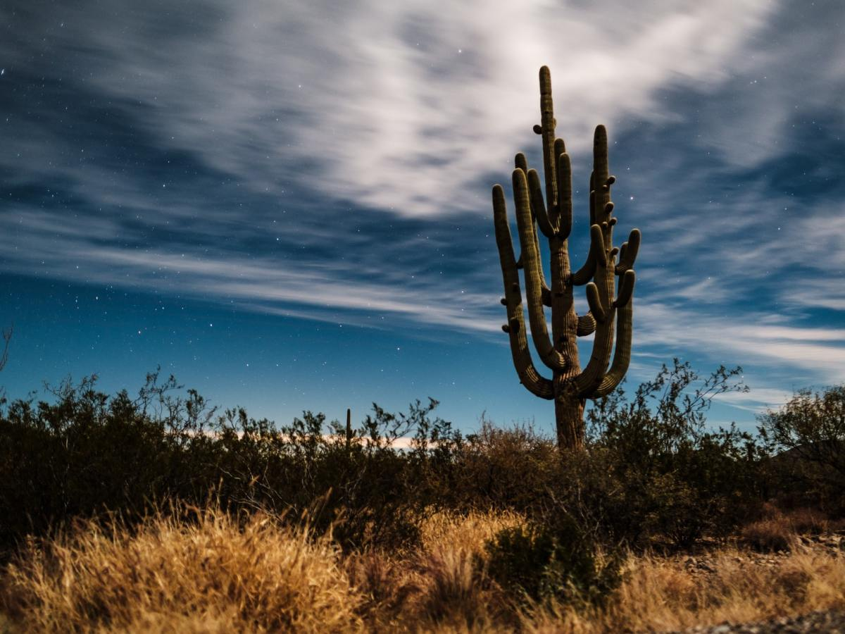 Saguaro cactus against the skyline in a desert field