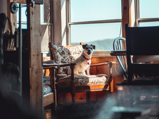 beige and white short-coated dog sitting on couch, near window in living room